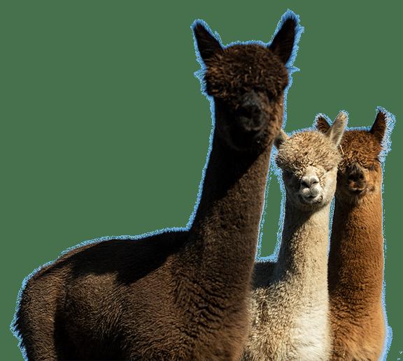Schiltzhof | Alpakas - Die Hüter der Hühner