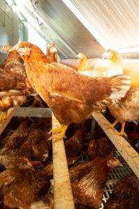 Sitzstangen im Hühnermobil auf dem Schiltzhof in Hofweiler