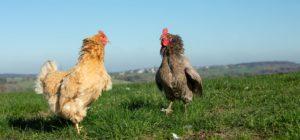 Hühner und Hähne gemeinsam | Schiltzhof Hofweiler