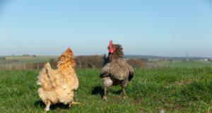 Freilandhühner auf dem Schiltzhof
