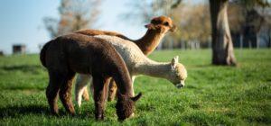 Alpakas - besser als Elektrozaun und Stacheldraht | Schiltzhof Hofweiler