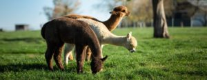 Alpakas beschützen unsere Hühner vor Fuchs und Habicht | Schiltzhof