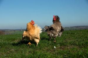 Das natürliche Verhalten ausleben - zwei Hühner auf dem Schiltzhof