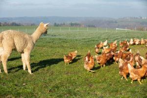 Anton hütet die Hühner auf dem Schiltzhof