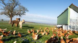 Schiltzhof, Hühnermobil, Alpakas und Hühner